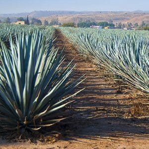 The Real Difference Between Tequila and Mezcal